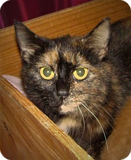Domestic Shorthair Cat for adoption in Orland Park, Illinois - Kimmie