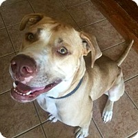 American Bulldog Mix Dog for adoption in McKinney, Texas - Leo **DIAMOND DOG $125 ADOPTION FEE**