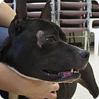 Pit Bull Terrier Mix Dog for adoption in Potsdam, New York - P'Chino