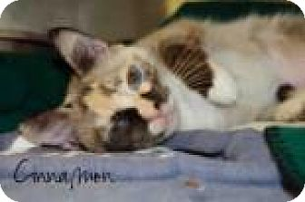 Domestic Shorthair Cat for adoption in Middleburg, Florida - Cinnamon