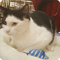 Domestic Shorthair Cat for adoption in Griffin, Georgia - Doogie