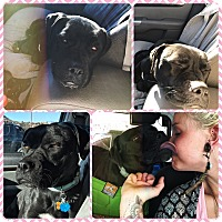 Adopt A Pet :: Shelby - Colorado Springs, CO
