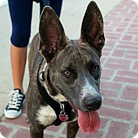 Adopt A Pet :: Foxy - Santa Monica, CA