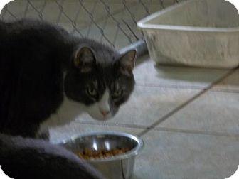 Domestic Shorthair Cat for adoption in East Smithfield, Pennsylvania - Benny