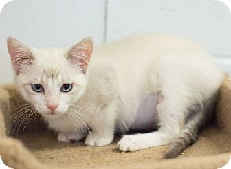 Snowshoe Kitten for adoption in Carencro, Louisiana - Ariel