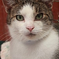 Domestic Shorthair Cat for adoption in Savannah, Missouri - Harold