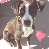 Adopt A Pet :: marvelous max - plano, TX