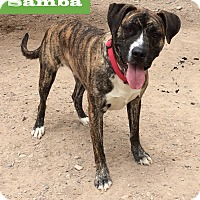 Boxer/Labrador Retriever Mix Dog for adoption in Albuquerque, New Mexico - Samba