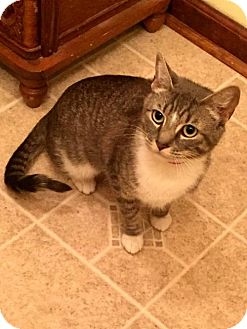 Domestic Shorthair Cat for adoption in White Bluff, Tennessee - Pandora