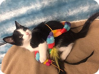 Domestic Shorthair Kitten for adoption in Highland Park, New Jersey - Sprinkle