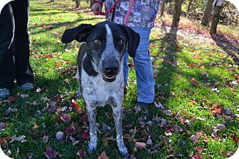German Shorthaired Pointer/Australian Cattle Dog Mix Dog for adoption in Broadway, New Jersey - Oreo