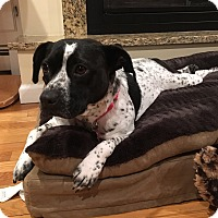 Cattle Dog Mix Dog for adoption in Bedford Hills, New York - Annie