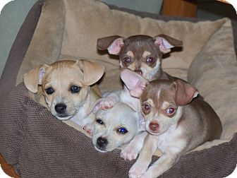 Chihuahua/Mixed Breed (Small) Mix Puppy for adoption in Apache Junction, Arizona - Puppies