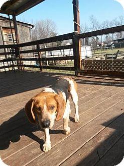 Beagle Dog for adoption in Akron, Ohio - R RESCUE: Kodah