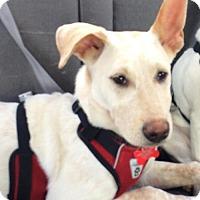 Adopt A Pet :: Gene - Best Ears, Best Dog! - Seattle, WA