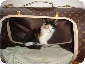 Calico Kitten for adoption in New York, New York - Mia