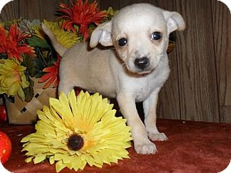 Chihuahua Puppy for adoption in Chandlersville, Ohio - Sparkle