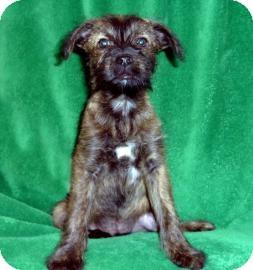 Terrier (Unknown Type, Medium) Mix Puppy for adoption in Tucson, Arizona - Shep