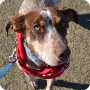 German Shorthaired Pointer Mix Dog for adoption in Gilbert, Arizona - Judy