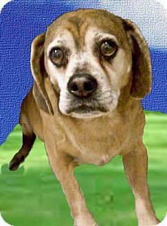 Pug/Beagle Mix Dog for adoption in Sacramento, California - Oden URGENT