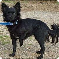 Adopt A Pet :: Little Lady - Plainfield, CT