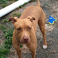 Adopt A Pet :: Honey - Rye Brook, NY