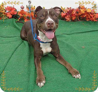 Pit Bull Terrier/Labrador Retriever Mix Dog for adoption in Marietta, Georgia - DANA (R)