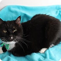 Domestic Shorthair Cat for adoption in Venice, Florida - Antoine