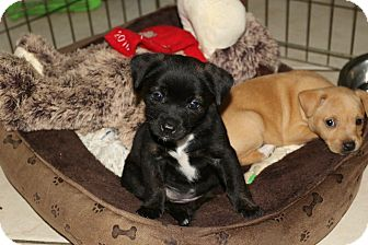 Terrier (Unknown Type, Small)/Beagle Mix Puppy for adoption in Pompano Beach, Florida - Miami litter