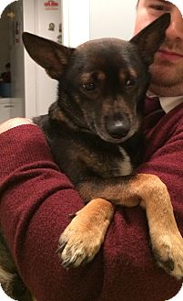 Chihuahua/Miniature Pinscher Mix Dog for adoption in Nashville, Tennessee - Petey