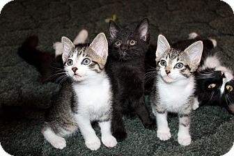 Domestic Shorthair Kitten for adoption in Nolensville, Tennessee - Alice