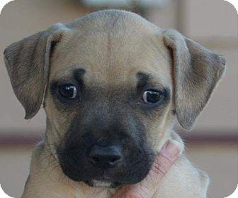 Boxer/Mastiff Mix Puppy for adoption in Torrance, California - SARA