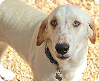 Labrador Retriever/Setter (Unknown Type) Mix Dog for adoption in Norwalk, Connecticut - Evie