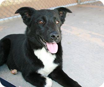 Border Collie/Labrador Retriever Mix Dog for adoption in San Antonio, Texas - Stella