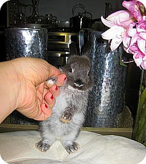 Silver Marten Mix for adoption in Los Angeles, California - Lavender