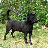 Labrador Retriever Mix Dog for adoption in Jackson, Mississippi - Fisher