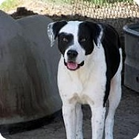 Greater Swiss Mountain Dog/Boxer Mix Dog for adoption in Quinlan, Texas - Jones