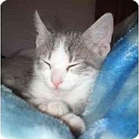 Adopt A Pet :: Little Gray - Davis, CA