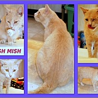 Adopt A Pet :: Mish Mish - Berkeley Springs, WV