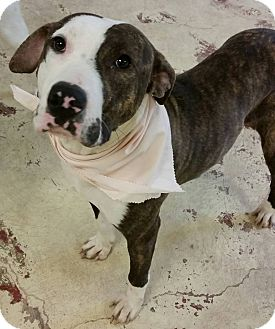 American Pit Bull Terrier Mix Dog for adoption in Struthers, Ohio - Skye 1 YR OLD