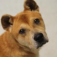 Adopt A Pet :: Niko - Savannah, TN