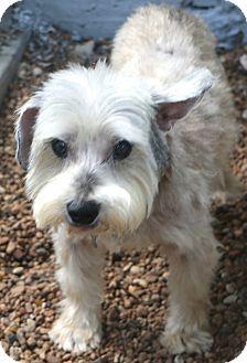 Schnauzer (Miniature) Mix Dog for adoption in Norwalk, Connecticut - Acorn - MEET ME