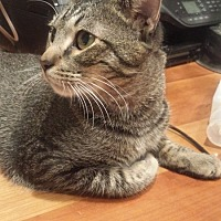 Adopt A Pet :: Tiger - Hoffman Estates, IL