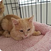 Adopt A Pet :: Scotch - Fountain Hills, AZ