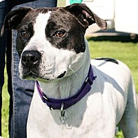 Boxer/Terrier (Unknown Type, Medium) Mix Dog for adoption in Lake Odessa, Michigan - Olive