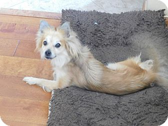 Pomeranian/Papillon Mix Dog for adoption in West Deptford, New Jersey - Pam