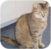 Domestic Mediumhair Cat for adoption in North Boston, New York - Emmy