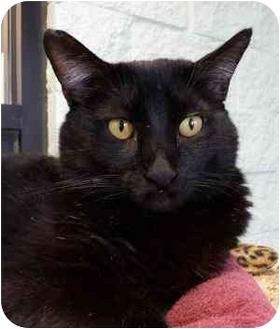 Domestic Shorthair Cat for adoption in Grayslake, Illinois - Astrologer