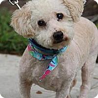 Adopt A Pet :: Bently - Davie, FL