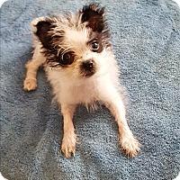 Adopt A Pet :: Dixie - Homewood, AL
